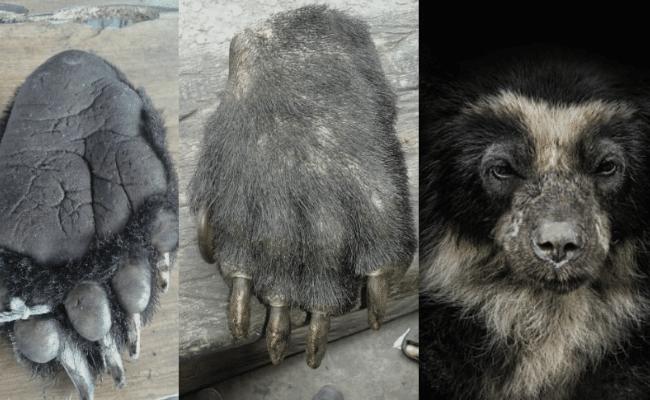 oso de anteojos caracteristicas