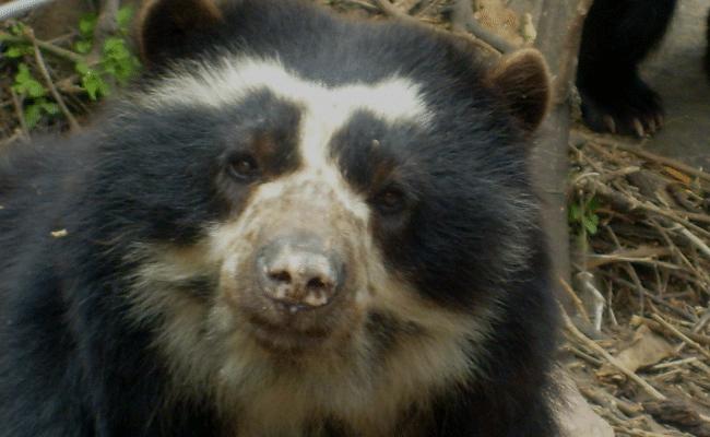 donde vive el oso de anteojos