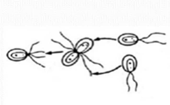 diferencia entre isogamia y anisogamia