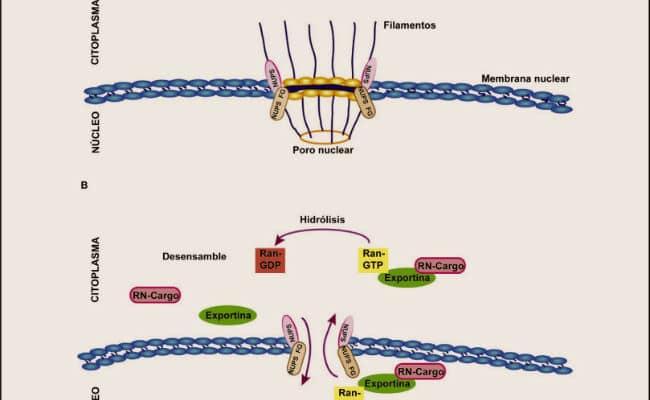 membrana nuclear caracteristicas y funciones
