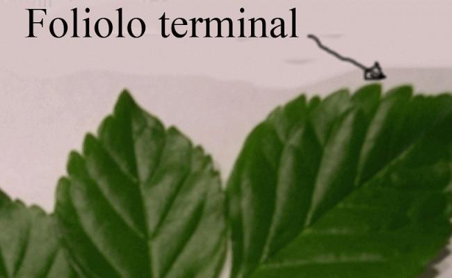 foliolo terminal