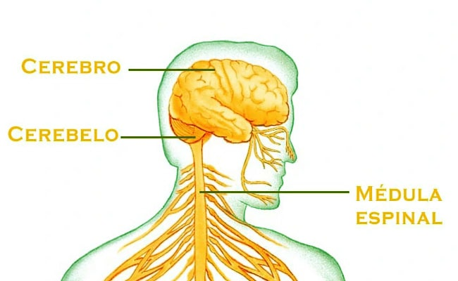 esquema del sistema nervioso